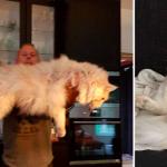 stor main coon katt rekord