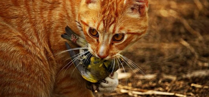 Vildkatter dödas för att rädda inhemska djurarter