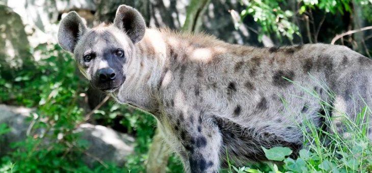 Katten och hyenan, är de släkt med varandra?