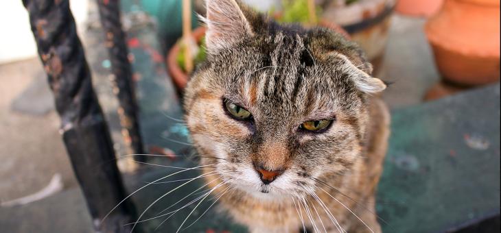 Hypertyreos hos katter